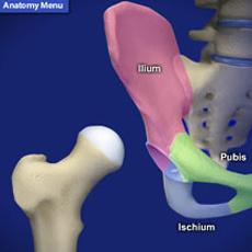 hip anatomy